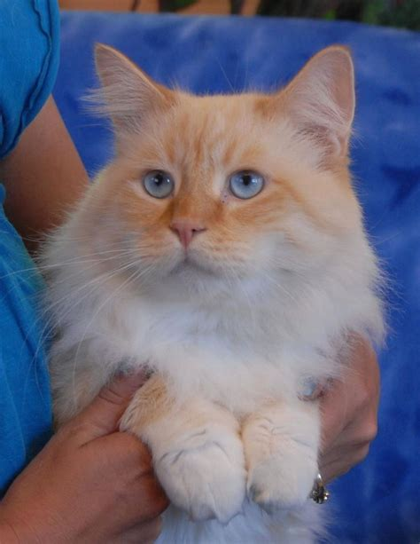 do ragdoll cats shed ragdoll cats do they shed popular breeds of cats photo