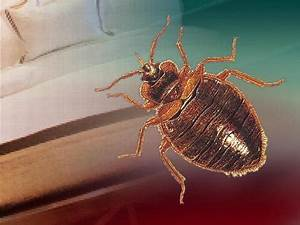 Santa clara county bed bug cases keep growing cbs san for Bed bugs san jose
