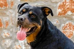 10 most dangerous dog breeds that can even kill their With rottweiler dangerous dog