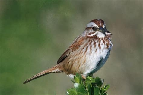 little brown bird too redheaded blackbelt