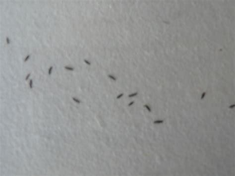 moucheron dans la maison de plusieurs centaines d insectes