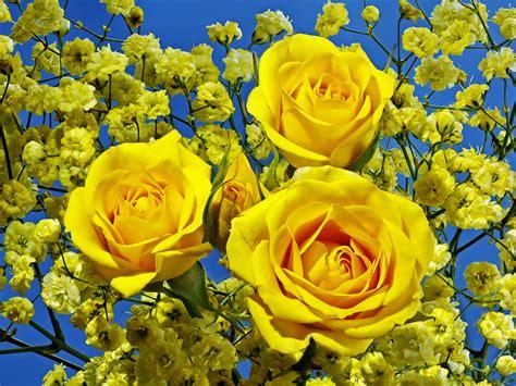 roses, Closeup, Yellow, Flowers Wallpapers HD / Desktop ...