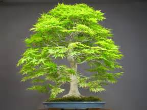 aliexpress buy 50 japanese bonsai maple tree seeds mini bonsai tree for indoor plant can