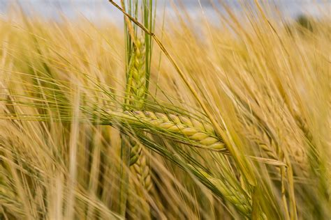 selective focus photography  brown barley  stock photo