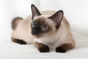 siamese cats facts about siamese cats