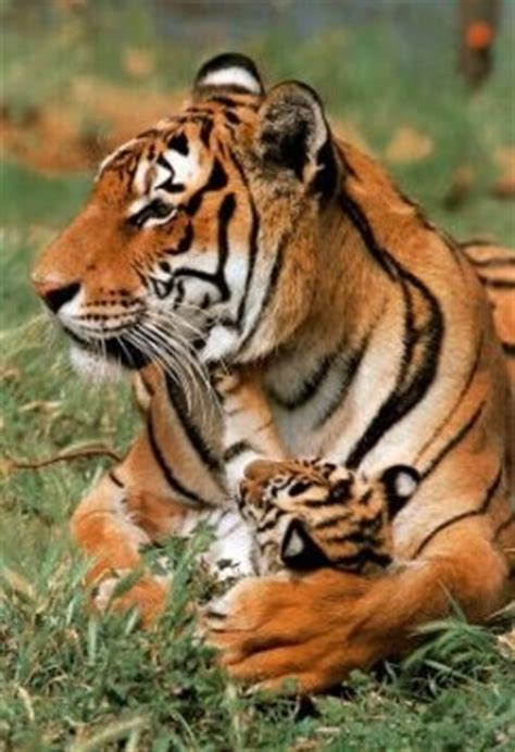 Best Images About Tigers Pinterest