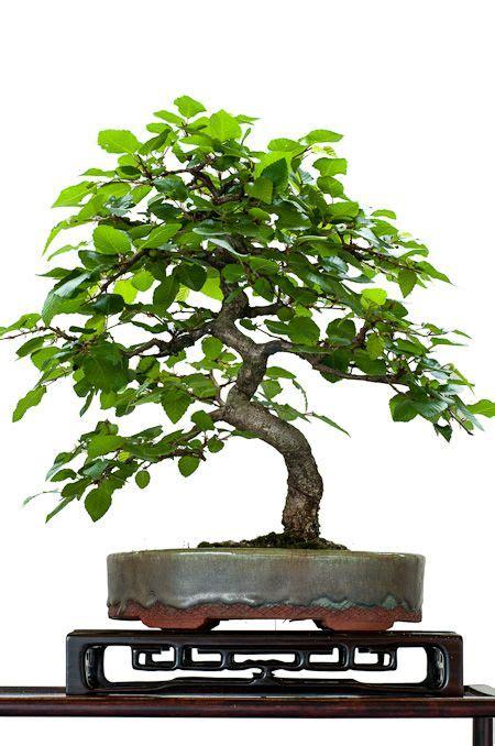 bonsai arten indoor hainbuche als shohin bonsai bonsai b 228 ume bonsai baum bonsai und hainbuche baum