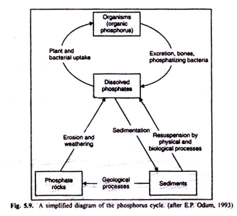 Phosphoru Cycle Diagram Pdf by Sulphur Cycle In An Ecosystem Explained