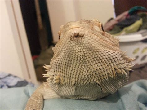 bruised nose from glass dancing bearded dragon org