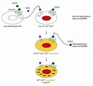 Cell-autonomous and cell non-autonomous signaling through ...