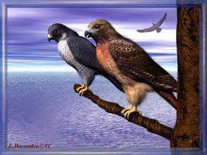 Red Tail Hawk vs Peregrine Falcon