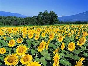 Sunflower wallpaper - Summer Sunflower wallpapers9 ...