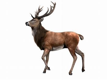 Deer Reindeer Moose Elk Clipart Raindeer Standing