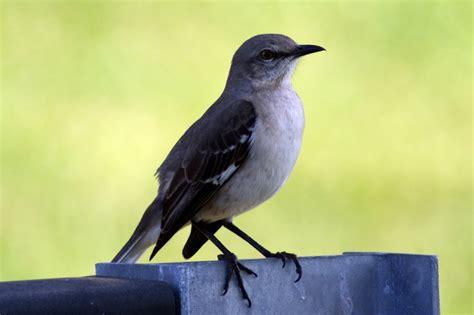 northern mockingbird what s chirping