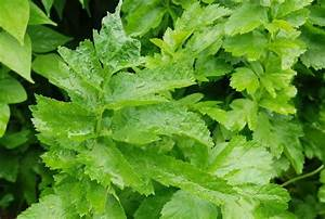 Pflanze Mit Z : pastinak eine pflanze mit vielen gesichtern uetze ~ Lizthompson.info Haus und Dekorationen