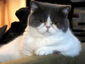 Cat Breeds with Flat Face