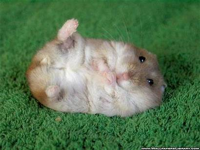 Hamster Perfect Picking Hamsters Pet Animal Fat