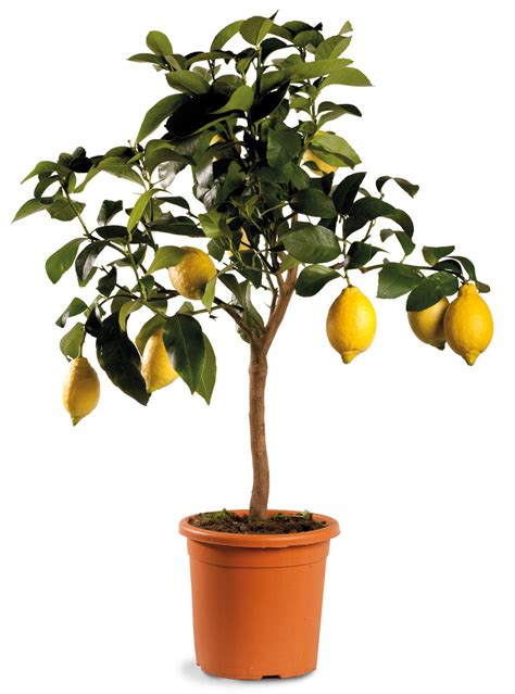 limone pianta in vaso pianta di agrumi limone vaso 20 linea verde