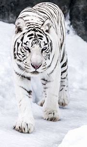 25 Best White Tiger Photographic | Animals, Snow tiger