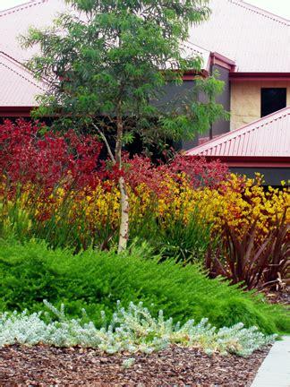 kangaroo paw garden design attractive easy care wild about gardens garden design perth wa