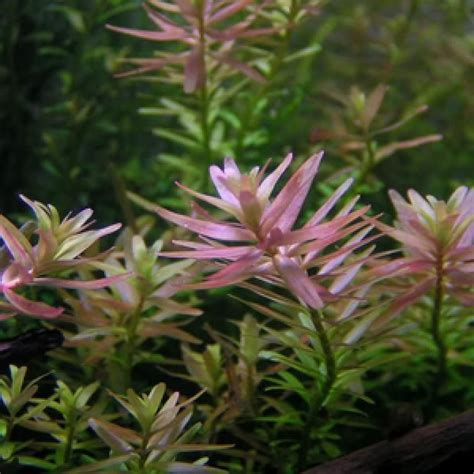 Ada Tissue Culture Rotala Pink Cup Size