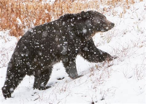 court blocks grizzly bear huntwhy   controversial