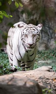 White Bengal Tiger In Wildlife High-Res Stock Photo ...