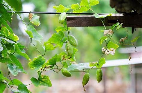 growing ivy gourd perennial cucumber