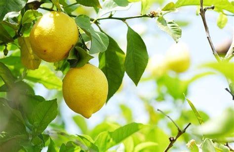 Limone In Vaso Cure by Limone In Vaso Come Fare Cure Naturali It