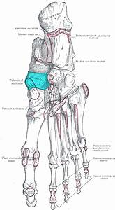 Navicular Tuberosity Images - Reverse Search