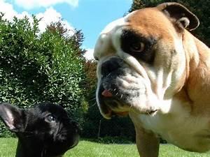 Hundebekleidung Französische Bulldogge : annes hompage ~ Frokenaadalensverden.com Haus und Dekorationen