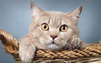 Shorthair Cat British Beige Cats Domestic Animals