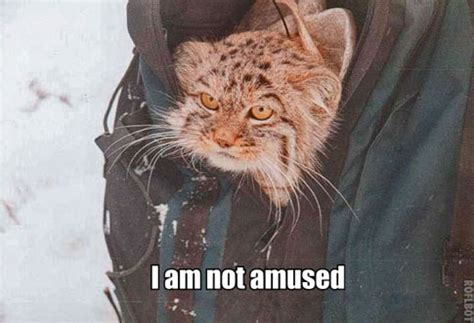 Unamused Cat Meme - unamused pallas cat poc