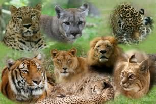 big cat asiatic big cats