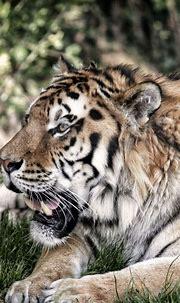 720x1280 wallpaper Tiger, wildlife, predator, animal # ...