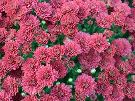when to plant mums caring for mums hgtv