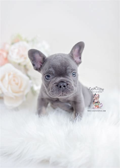 blue  tan french bulldogs teacups puppies boutique
