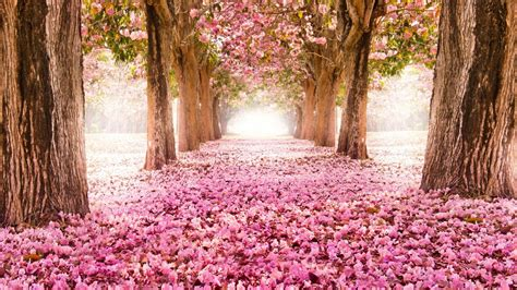 High Definition Nature Wallpapers With Falling Cherry