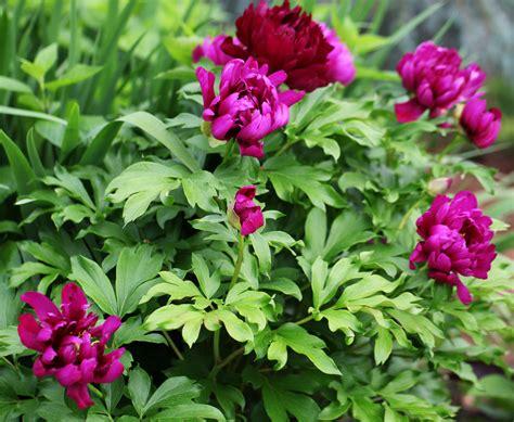growing peonies the graceful gardener 187 peonies