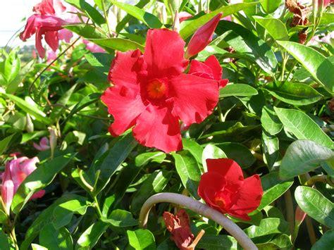 vining plants for sun sun parasol giant crimson mandevilla