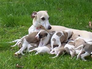 Whippet puppies for adoption Offer