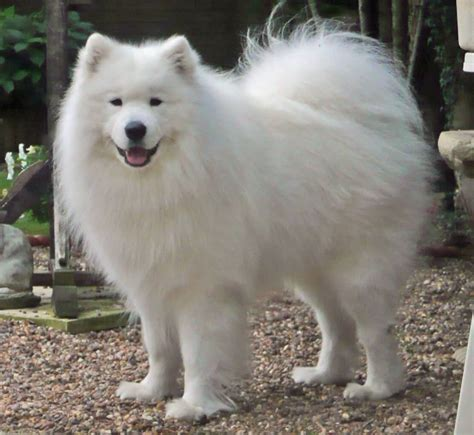 60 Adorable Pictures Of Samoyed Breed Dogs