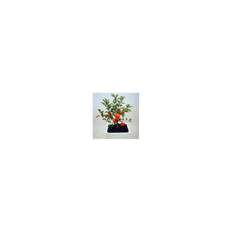 pommier nain en pot pommier nain garden sun 174 en pot de 12l plantes et jardins