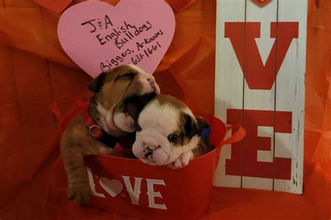 ja english bulldogs bulldog puppies  sale born
