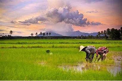 Sawah Padi Pemandangan Gambar Mata Pertanian Pencaharian