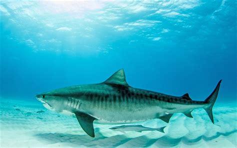Descargar fondos de pantalla tiburón tigre 4k mundo