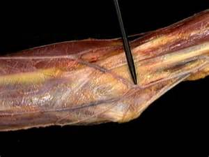 Arm Veins and Arteries