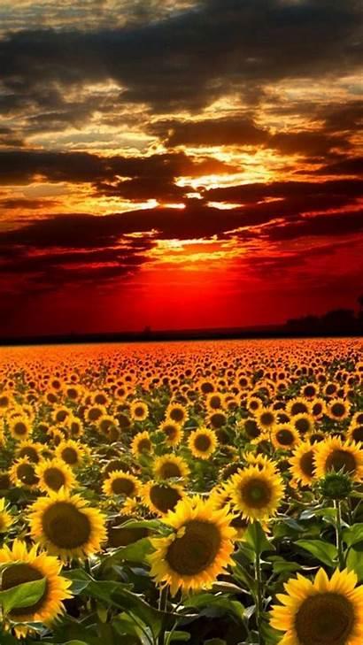Sunflower Iphone Field Sun Flower Sunset Landscape