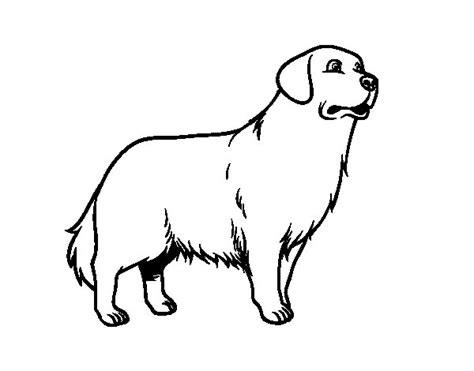 golden retriever dog coloring page coloringcrewcom