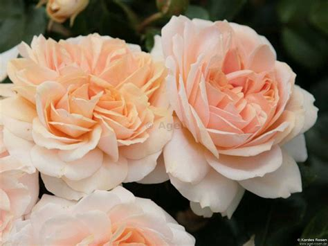 buy garden of roses syn flower circus 174